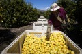 A worker picks lemons at an orchard in California, US. Photo: Getty Images./AFP
