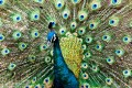 China's green peacock is more endangered than the giant panda and its last remaining habitat has won a reprieve in a rare legal victory for environmental activists. Photo: Handout