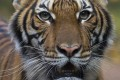 Nadia, a Malayan tiger at the Bronx Zoo in New York, is believed to have been infected by a zoo employee. Photo: Wildlife Conservation Society via AP