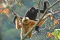 The critically endangered Hainan gibbon is only found on its namesake island in mainland China. Photo: Kadoorie Farm and Botanic Garden and Bawangling National Nature Reserve