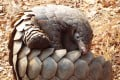 Pangolins are trafficked for their scales, which are used in traditional medicine in China and elsewhere. Photo: Shutterstock