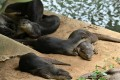 Smooth-coated otters rest along a canal in Singapore. Photo: AFP
