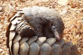Pangolins are among the world's most endangered species as a result of poaching and smuggling. Photo: Shutterstock