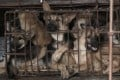 Caged dogs are a feature of the Yulin dog meat festival. Photo: Handout