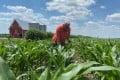 A farmer inspects corn plants in Loda, Illinois, in June. Photo: Reuters