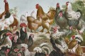 An illustration showing a variety of chicken breeds. Around 7,500BC in Asia, humans began to tame and breed the red jungle fowl, which through crossbreeding over the centuries has given the world hundreds of types of domestic chicken. Photo: Getty Images