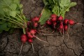 Radishes are the ideal accompaniment for champagne. Photo: Hristo Rusev/NurPhoto via Getty Images