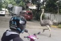 An escaped ostrich is seen running down a street in Quezon City, Metro Manila on Tuesday. Two ostriches were later captured by security guards. Photo: Facebook