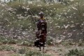 A swarm of desert locusts in Kenya. File photo: Reuters
