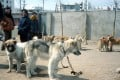 Live dogs on sale in North Korea. File photo