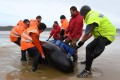 Volunteers and wildlife officials work to save a whale stranded on a beach in Macquarie Harbour in Tasmania. Photo: AFP