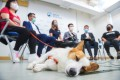 Ching Huang, a Pembroke Welsh Corgi, takes a nap during a press briefing on the rescue of pets last month. Photo: Winson Wong
