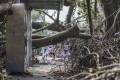Hong Kong children make their way through trees felled by Typhoon Mangkhut, in Sheung Shui on September 20, 2018. Typhoon Mangkhut, which required the signal No 10 to stay in place for 10 hours on September 16, was the most powerful storm to hit the city since records began in 1946. Photo: Sam Tsang