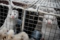 Mink look out from their cages at a farm near Naestved, Denmark, on Friday. Photo: AFP