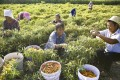 Farmers pick crops in Bozhou, Anhui province. Rural Chinese make and spend at least 40 per cent less than their urban peers. Photo: Weibo