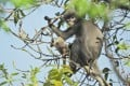 The newly discovered Popa langur (Trachypithecus popa) is seen on a tree branch on Mount Popa, Myanmar. Photo: German Primate Centre / AFP