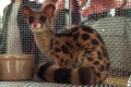 A rare spotted linsang, worth thousands of dollars, was among 1,200 live animals seized by customs officers in unmanifested cargo from a barge in Hong Kong. Using a law against serious and organised crime to tackle the illegal trade in wildlife and endangered animal parts could bring better results than current enforcement action. Photo: SCMP
