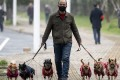 A man walks his dogs in Jiujiang, central China. Officials in a southwestern county have walked backed a ban on dog walking that would have involved killing the pets of repeat offenders. Photo: AFP