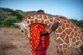 An orphaned reticulated giraffe nuzzles Sarara Camp wildlife keeper Lekupania. This giraffe was rehabilitated and returned to the wild. The image is among those being sold to raise money for Conservation International to help wildlife parks and those who depend on them for work survive the pandemic. Photo: Prints For Nature/Ami Vitale