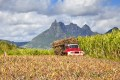 About 85 per cent of the cultivated land on Mauritius is given over to growing sugar. Photo: Shutterstock