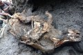 The carcass of a juvenile woolly rhinoceros, found in permafrost in eastern Siberia, Russia. Photo: Department for the Study of Mammoth Fauna of the Academy of Sciences of the Republic of Sakha (Yakutia) / Reuters