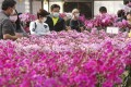 Hongkongers choose orchids at Chiba Orchid Farm in Yuen Long. Photo: K.Y. Cheng