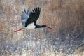 A black stork, a nationally protected wild animal in China, searches for food in the wilds surrounding Beijing. Photo: Getty Images