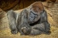 Winston, 48, was one of several gorillas among the San Diego Zoo Safari Park's troop who were confirmed positive for the virus. Photo: AFP