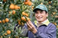 A worker picks kumquats in Miyazaki prefecture in Kyushu, Japan. The kumquat is a traditional Lunar New Year fruit that is also rich in nutrition and vitamins. Photo: Miyazaki Prefecture Agricultural Office.
