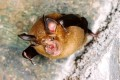 The Cambodian samples were taken from horseshoe bats. Photo: Handout