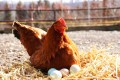 Pictorial Geography published a paper claiming mind power could hatch chickens from boiled eggs. Photo: Shutterstock