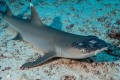 A whitetip reef shark with white spots and lesions, which may be linked to rising sea temperatures. Photo: Reuters
