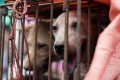 68 caged dogs were rescued outside Yulin, China last week. They were reportedly on their way to be slaughtered for the annual dog meat festival. Photo: AFP