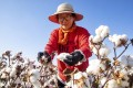 A cotton picker works in a field in China's Xinjiang region. Photo: AP