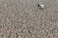 A cow is seen on land that used to be filled with water in Paine, Chile. Photo: Reuters