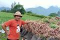 Sukarsana with his crop of shallots. Photo: Sukarsana