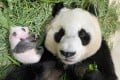 First-time mum Jia Jia spends time with her new cub on September 6, 2021. Photo: Wildlife Reserves Singapore