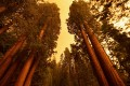 Giant sequoia trees stand among smoke filled skies in the Sequoia National Park in California. Photo: AFP