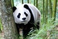 Zhen, a giant panda, wanders around a forest in Wenchuan, in China's Sichuan province. Photo: Getty