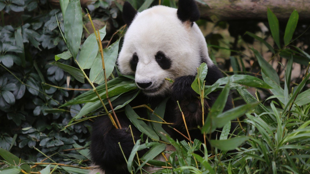 Ocean Park Hong Kong's panda keeper hopes rescue package is approved; says animals are 'like family'
