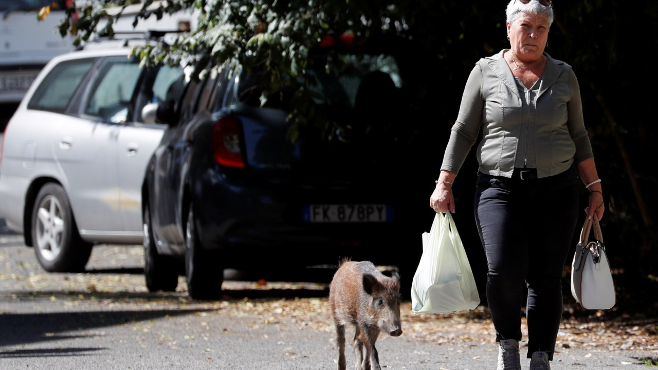 Rome is being invaded by groups of rubbish-seeking wild boars