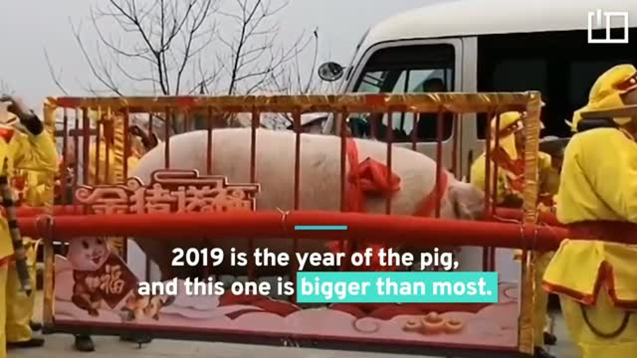 One-ton porker rings in the year of the pig