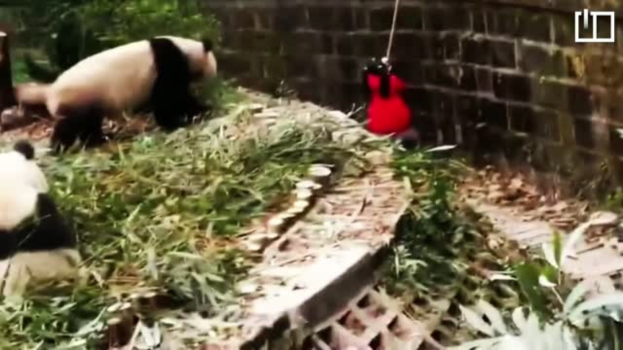 Little girl rescued from pandas