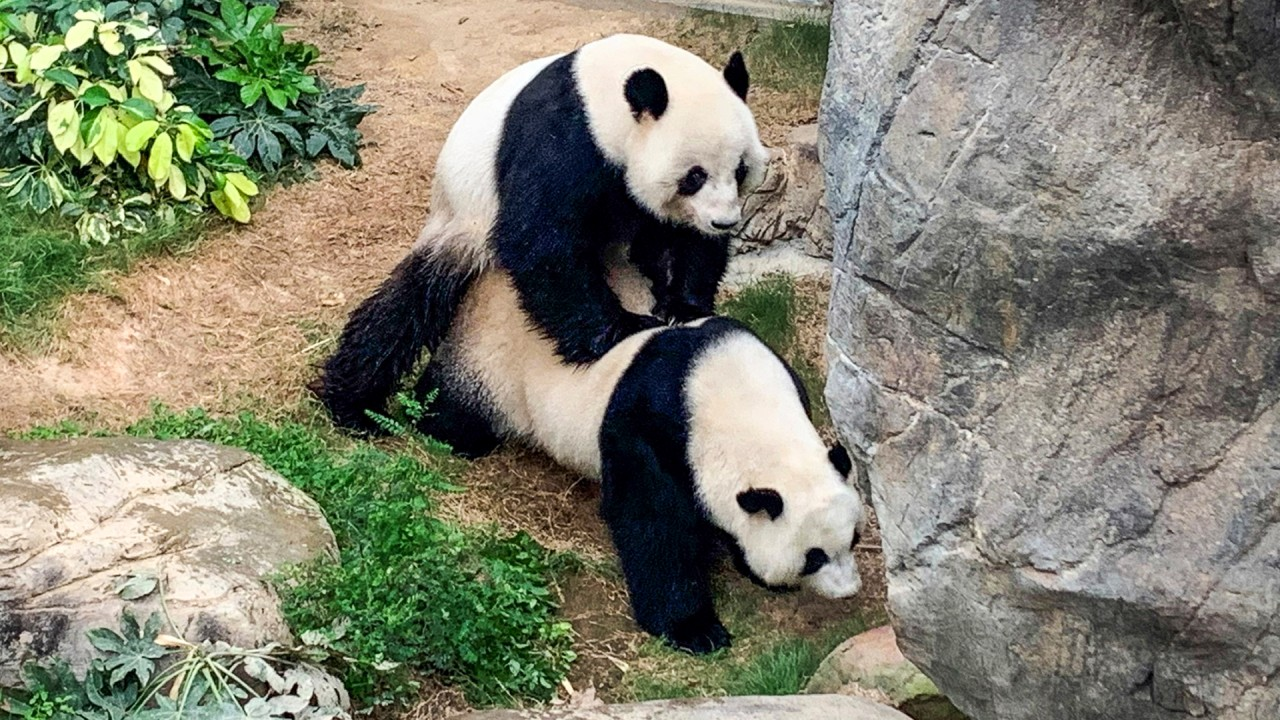 Giant pandas take the lion's share of conservation attention but China has many endangered species in need such as tigers, dolphins and alligators