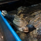 Crocodile meat disappears from restaurant apps in China amid Wuhan coronavirus outbreak
