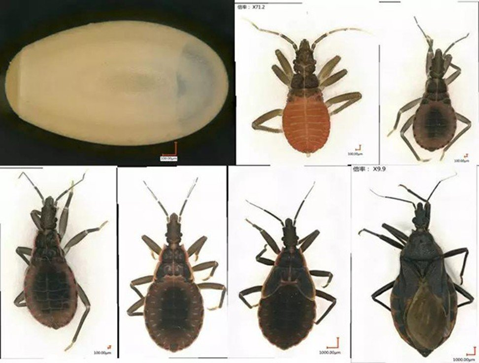 Watch out, these bloodsucking 'kissing bugs' are on the march – and