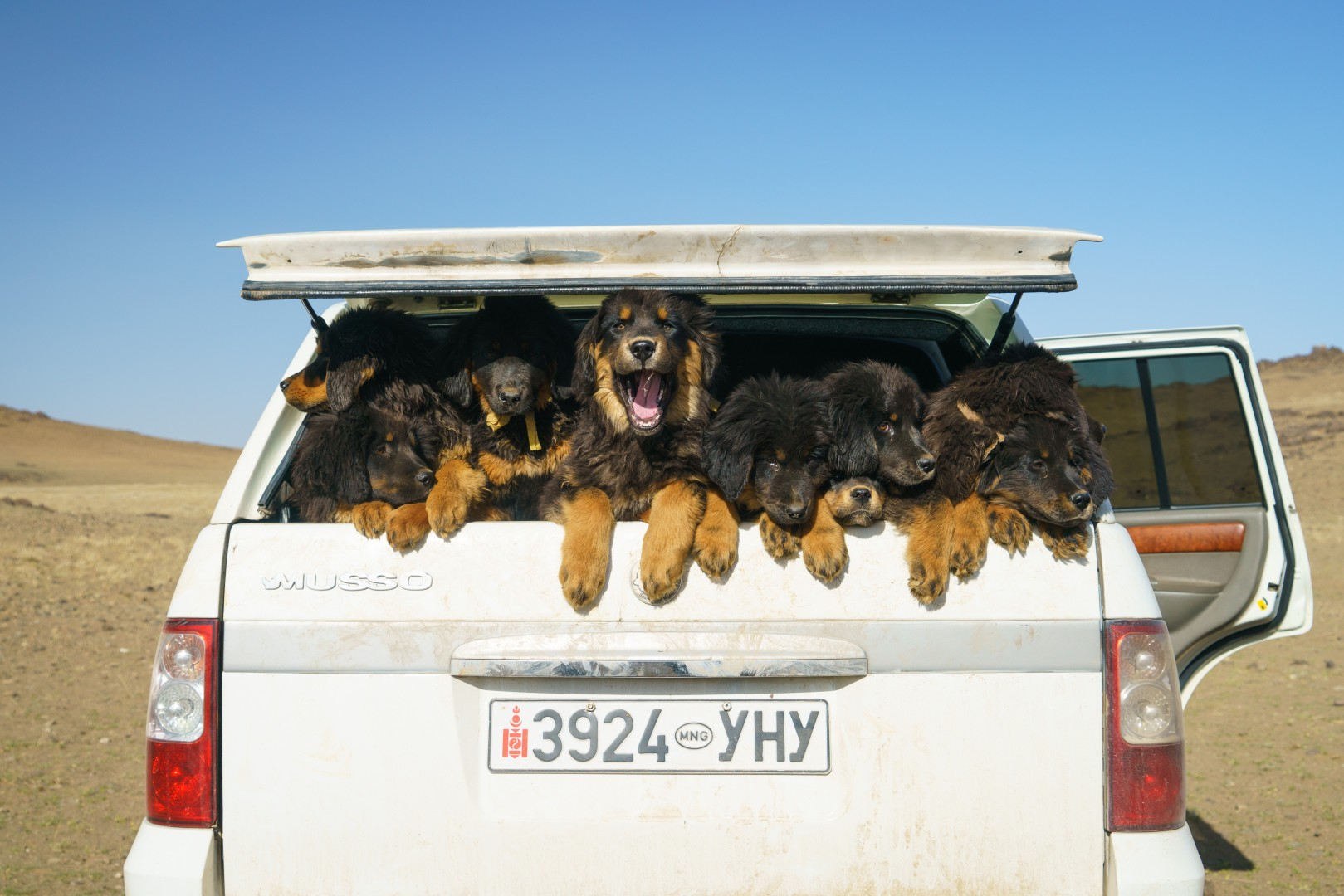 The dogs that could stop Mongolian grasslands turning to