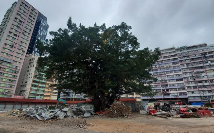 The two banyan trees surrounded by construction waste in the former government compound. Nora Tam