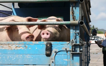 Pigs arriving at Sheung Shui slaughterhouse which resumed operations on Thursday morning. Photo: K.Y. Cheng