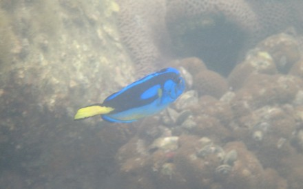 This blue tang was spotted in Hoi Ha Wan Marine Park and its behaviour suggested it had been in human captivity. Credit: Bloom Association